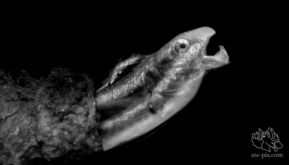 How to Photograph 'Fangblennies'