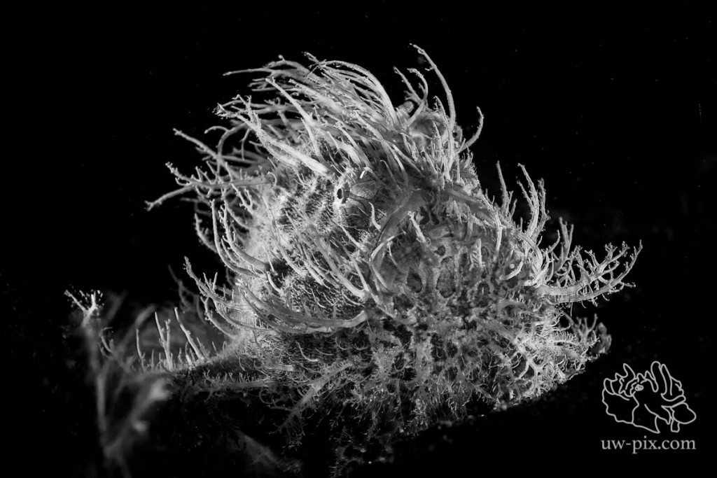 SaschaJanson_CLR_Frogfish_hairy_backlit