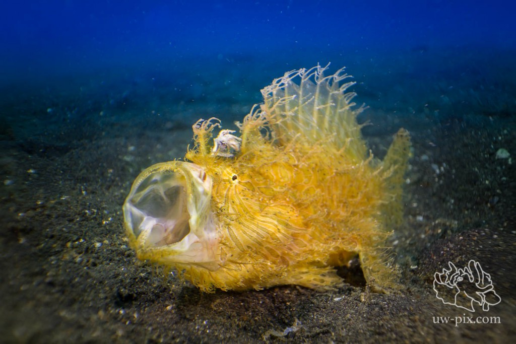 SaschaJanson_CLR_Frogfish_hairy_backlit-11