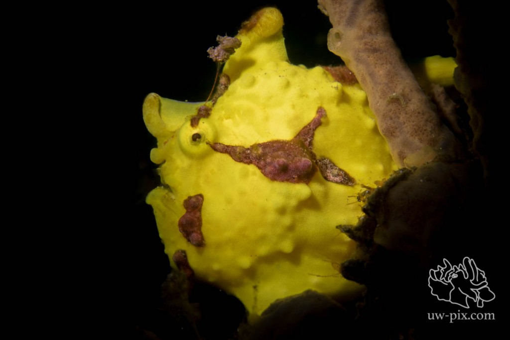 SaschaJanson_CLR_Frogfish_hairy_backlit-12
