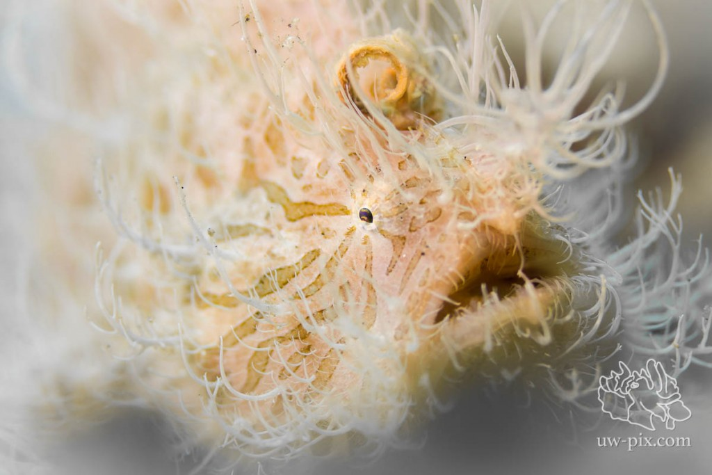 Hairy Frogfish (Antennarius striatus) Lembeh Strait