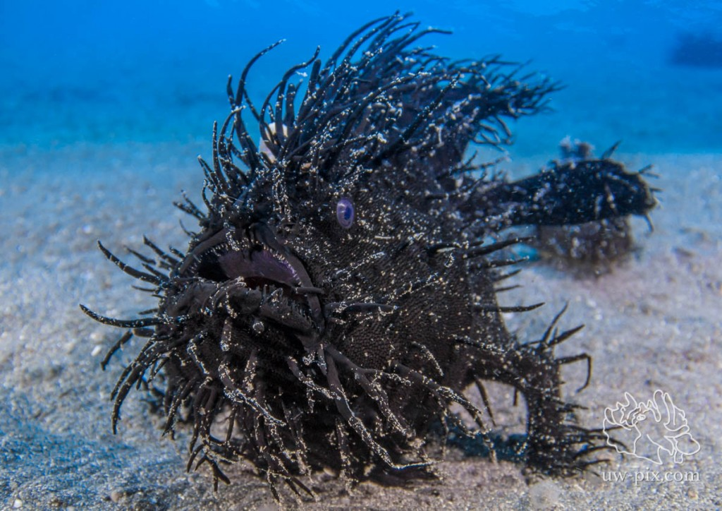 Black Hairy Frogfish (Antennarius striatus) Lembeh Strait