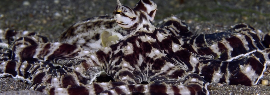 uw Critters of the Lembeh Strait | The Mimic Octopus