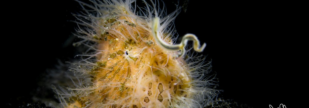 Hairy-Frogfish-uw_4353