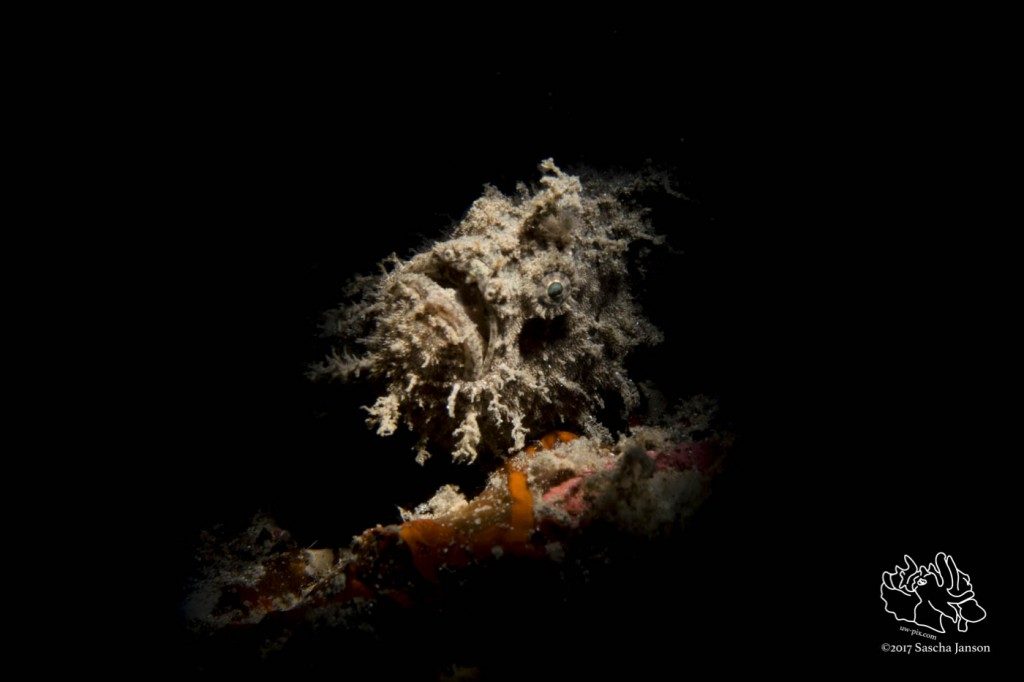 Ocellated frogfish (Antennarius ocellatus) in the Lembeh Strait